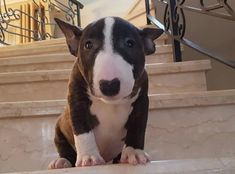 Uplifting So You Want A American Pit Bull Terrier Ideas. Fabulous So You Want A American Pit Bull Terrier Ideas. Mini Bull Terriers, Miniature Bull Terrier, Bull Terrier Puppy, English Bull Terriers, Cute Puppies, Cute Dogs, Dogs And Puppies, Doggies, Corgi Puppies
