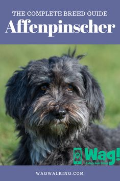 Everything you need to know about Affenpinscher dogs! Dogs And Kids, All Dogs, I Love Dogs, Best Dogs, Smartest Dog Breeds, Best Dog Breeds, Lazy Dog Breeds, Designer Dogs Breeds, Hypoallergenic Dog Breed