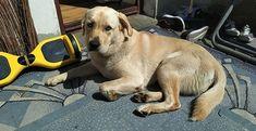 Location History, Labrador Retriever, Twitter, Dogs, Animals, Labrador Retrievers, Animales, Animaux, Doggies
