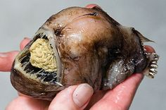 Deep sea creatures fascinate me.  Did I ever tell you I wanted to be a marine biologist when I was 10?