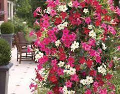 Planta cățărătoare Mandevilla îți umple balconul sau grădina de flori