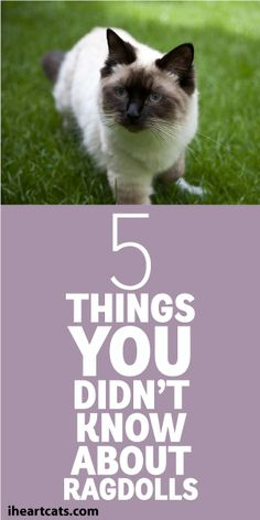 5 Things You Didn't Know About Ragdolls <3
