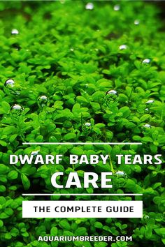 Dwarf Baby Tears Care Guide – Planting, Growing, and Propagation - Shrimp and Snail Breeder Planted Aquarium, Aquarium Fish, Dwarf Baby, Snake Plant Care, Summer Plants, Different Plants, Propagation, Horticulture, Baby Care