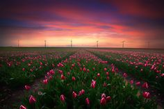 the Tulip season is starting in the Netherlands :)