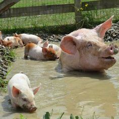 And where we like to take a shower... These piggies like their bath of mud! Looks like mum is having a great time with her piglets.