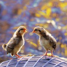 Chatting chicks.