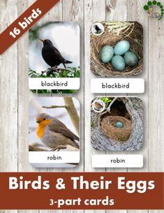 Birds And Their Eggs – Montessori Nomenclature Cards Montessori Science, Kindergarten Science, Montessori Toys, Preschool Themes, Preschool Eggs, Classroom Activities, Bird Egg Identification, Bird Life Cycle, Kindergarten Pictures