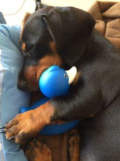 little dachshund cuddling her ducky. My dachshund does this with a certain blanket Baby Animals, Funny Animals, Cute Animals, Cute Puppies, Cute Dogs, Dachshund Love, Daschund, Weenie Dogs, Doggies