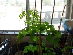 Grow Moringa trees indoors - because I like the Body Shop Moringa fragrance