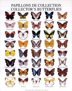 Butterflies by Atelier Nouvelles Images Butterfly Facts, 3d Butterfly Tattoo, Butterfly Species, Butterfly Frame, Butterfly Print, Framed Art Prints, Fine Art Prints, Butterfly Illustration, Beautiful Bugs