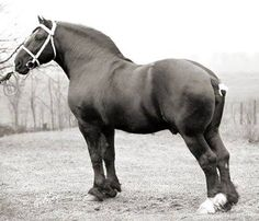 The Morning Feed May 30 at 11:53am · Corlaet, a grandson of Laet. He was bred and owned by William B. Murray of Bonny Brae Farm in Wellington, OH. During the 1930s, Bonnie Brae was one of the premier Percheron farms in America.