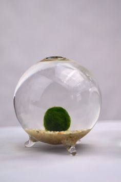 Marimo literally ball seaweed also known as Japanese Moss Ball is a rare species of green algae growing into large green balls with a velvety appearance and are found nat. Inside Plants, Cool Plants, Indoor Garden, Home And Garden, Easy Care Indoor Plants, Marimo Moss Ball, Terrarium Plants, Growing Plants, Bud Vases