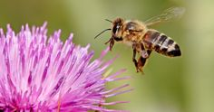 Do you want to help save the bees? The tragic decline of bee populations has been very prominent in the news recently - however you can help bee populations by choosing plants that they love! [read more] Container Gardening, Gardening Tips, Off The Grid News, Crop Production, Bee Free, Raising Bees, Garden Pictures, Save The Bees, Edible Garden