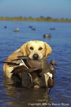 Yellow Labrador Retriever/ bird dog