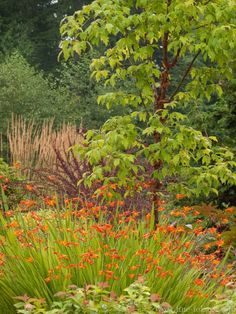 Tall grasses, a purple barberry, the rich mahogany bark of the paperbark maple and soft golden tones of a spirea create a picture frame for the bold orange crocosmia flowers. A backdrop of evergreens adds depth to the scene. This palette will continue to evolve as the knobby orange seedheads of the crocosmia will play off the autumnal pumpkin shades of the maple foliage.