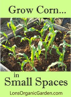 Grow Corn in Small Spaces. Don't let a small garden keep you from enjoying fresh homegrown corn. Tips for successful growing in small spaces.