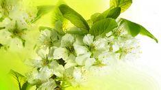 Pink Leaves, Leaf Flowers, Spring Flowers, White Flowers, Pink Cherry Blossom Tree, Cherry Blossom Painting, Blossom Trees, White Cherries, Close Up Photography