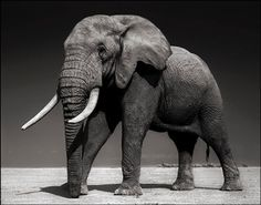 Bid now on Elephant with Half-Ear, Amboseli (July Killed by Poachers (August (from Across the Ravaged Land) by Nick Brandt. View a wide Variety of artworks by Nick Brandt, now available for sale on artnet Auctions. Photo Elephant, Grey Elephant, African Elephant, Elephant Photography, Wildlife Photography, Animal Photography, Nick Brandt, Book Projects, Gentle Giant