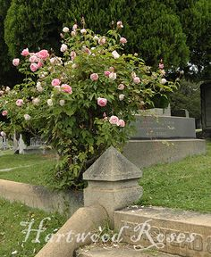 'Duchesse de Brabant' in Hollywood Cemetery ... Hartwood Roses photo.