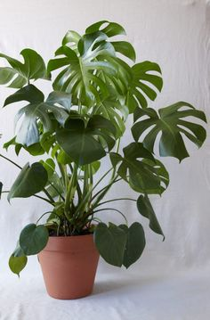 Monstera :: Bright to medium, indirect sunlight. Avoid bright, direct sunlight (which can burn your plant's leaves) – filtered, 'shady' sunlight is preferable!