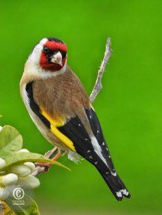 Red Kite, Goldfinch, Heron, Owl, Birds, Animals, Furniture, Animales, Animaux