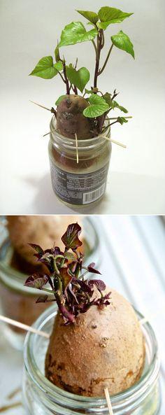 Alternative Gardning: Rooting Sweet Potatoes for Planting