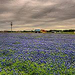 Bluebonnets by Flipintex Fotos. Back for now