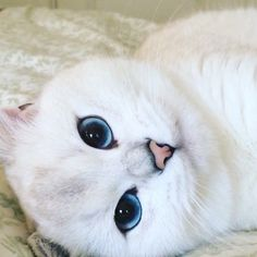 Coby the Cat Has the Most Prettiest Blue Eyes, http://petsvox.com/2016/02/29/coby-cat-blue-eyes/