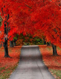 Red sugar maple lined driveway