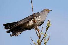 Käki - Cuckoo