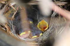 baby Wrens. Mom built a nest in a flower pot on my patio.