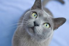 Blue Burmese Cat...my dream cat, companion, friend...just look at those intelligent eyes and silky smooth kitty fur!