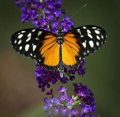 Black and Orange Butterfly - by Saija Lehtonen