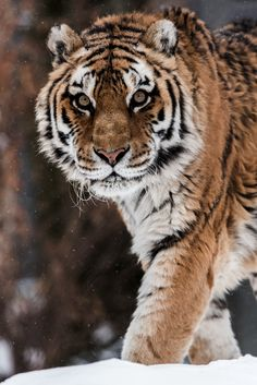 "classyxsexxy: ""Eye Of The Tiger. """
