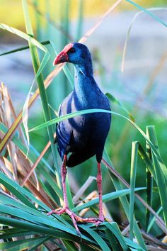 African Purple Swamphen   (Porphyrio madagascariensis)   by Ian n. White, via Flickr