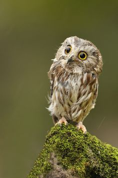 Northern Saw - whet Owl by Jerry Peltier