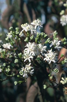 Heptacodium miconioides (seven son) Clusters of scented, creamy-white flowers appear at the ends of...afflink......