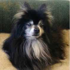 In Cali? How about this Pom? Gandalf – 16 year old neutered male purebred Pomeranian. Our kind hearted trainer rescued him from a high-kill shelter where he had no chance of being adopted.   Despite his age, Gandalf is a spunky energetic little fellow who loves his walks...