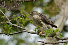 Japanese Sparrowhawk by Mubi.A Now, I'm Ranking No. 2 ! ^^; https://youpic.com/photographers