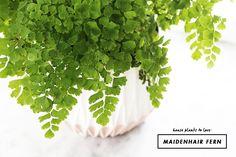 House Plants : Maidenhair Fern