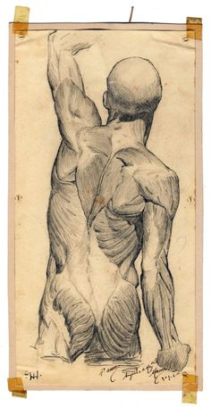 Dorsal musculature. Augusto Moreira (1909) from the collection of anatomical drawings of the Medicine Museum, FMUL