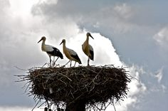 Storks in Mazury, Poland (Saw many of these nest when we visited Poland)