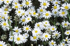Corn chamomile or Field chamomile, Anthemis arvensis (annual) - The leaves, when crushed, give off a pleasant aroma.