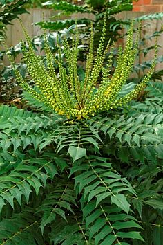Mahonia, evergreen shrub with dark-green, spiky, glossy leaves that are a pleasant light red as they come through in summer.