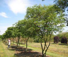 Amelanchier lamarckii in summer - multi stem good for screening front bay window Landscape Elements, Dry Garden, Patio Plants, Tree Shapes, Woodland Garden, Chelsea Flower Show, Backyard Bbq, Small Trees, Farm Gardens
