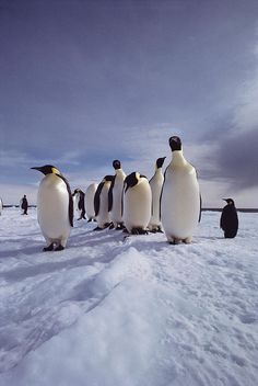✭ A group of emperor penguins, Aptenodytes forsteri, standing on ice