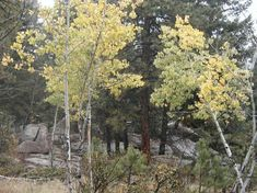 pines and aspens in Reynolds Park