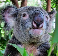 #OldPhotos #Koala #MagneticIsland #Queensland #Australia #BungalowBayKoalaVillage #Y2011 Queensland Australia, Old Photos, Island, Instagram Posts, Animals, Old Pictures, Animales, Animaux, Vintage Photos