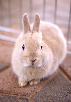 In case you are searching for a furry friend that is not just extremely cute, but easy to have, then look no further than a family pet bunny. Fluffy Animals, Cute Baby Animals, Animals And Pets, Baby Bunnies, Cute Bunny, Bunny Rabbit, Easter Bunny, Hamsters, Cute Animal Pictures
