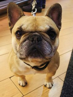 """Look into my eyes human.......you are now under my control"", hypnotizing French Bulldog"